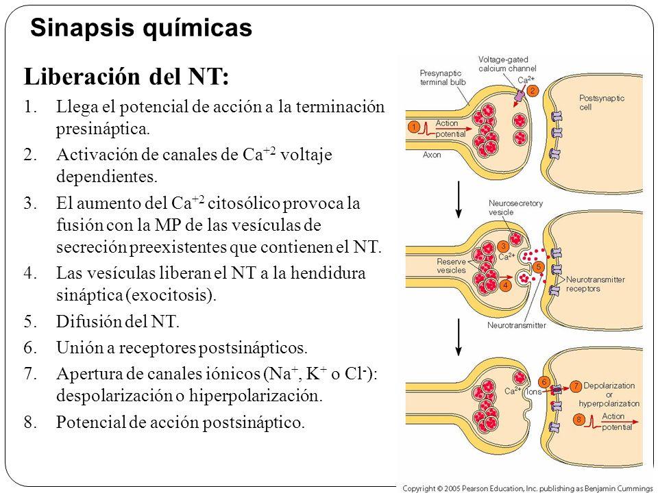 Sinapsis químicas Liberación del NT: