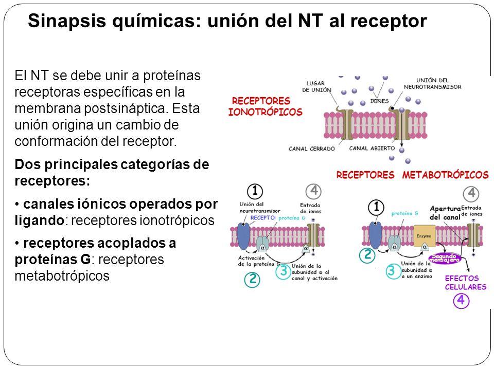 Sinapsis químicas: unión del NT al receptor