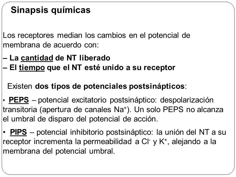 Sinapsis químicas Los receptores median los cambios en el potencial de membrana de acuerdo con: – La cantidad de NT liberado.
