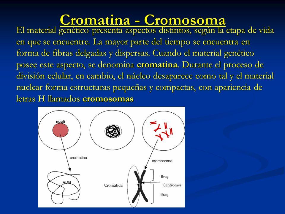 Cromatina - Cromosoma