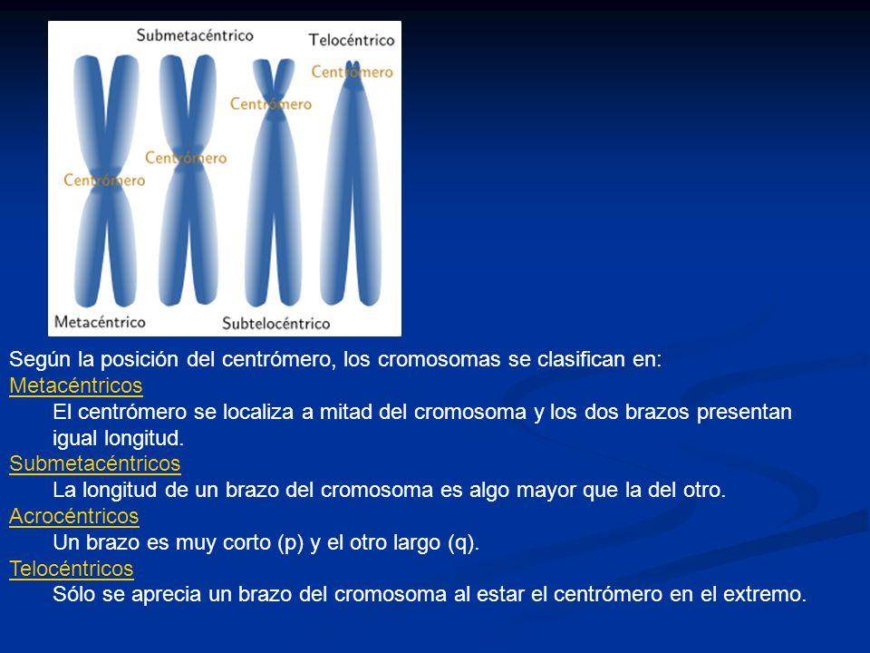 Según la posición del centrómero, los cromosomas se clasifican en: