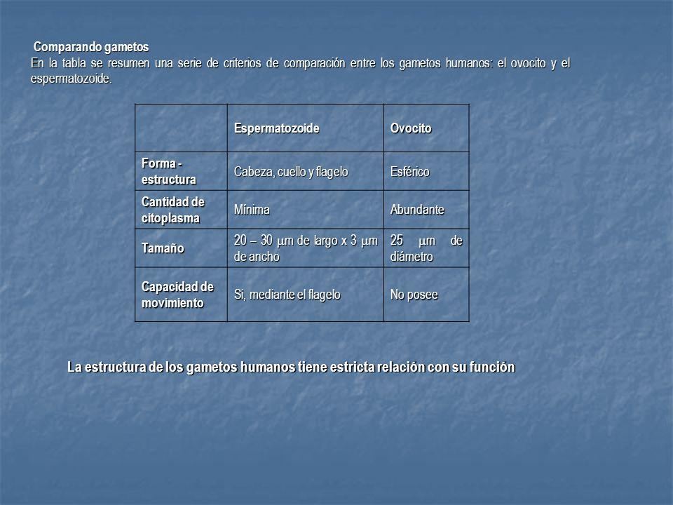 Comparando gametos En la tabla se resumen una serie de criterios de comparación entre los gametos humanos: el ovocito y el espermatozoide.