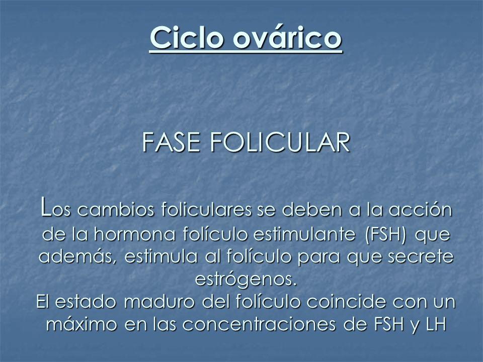 Ciclo ovárico FASE FOLICULAR Los cambios foliculares se deben a la acción de la hormona folículo estimulante (FSH) que además, estimula al folículo para que secrete estrógenos.