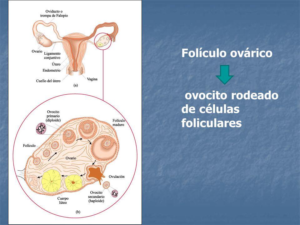 Folículo ovárico ovocito rodeado de células foliculares