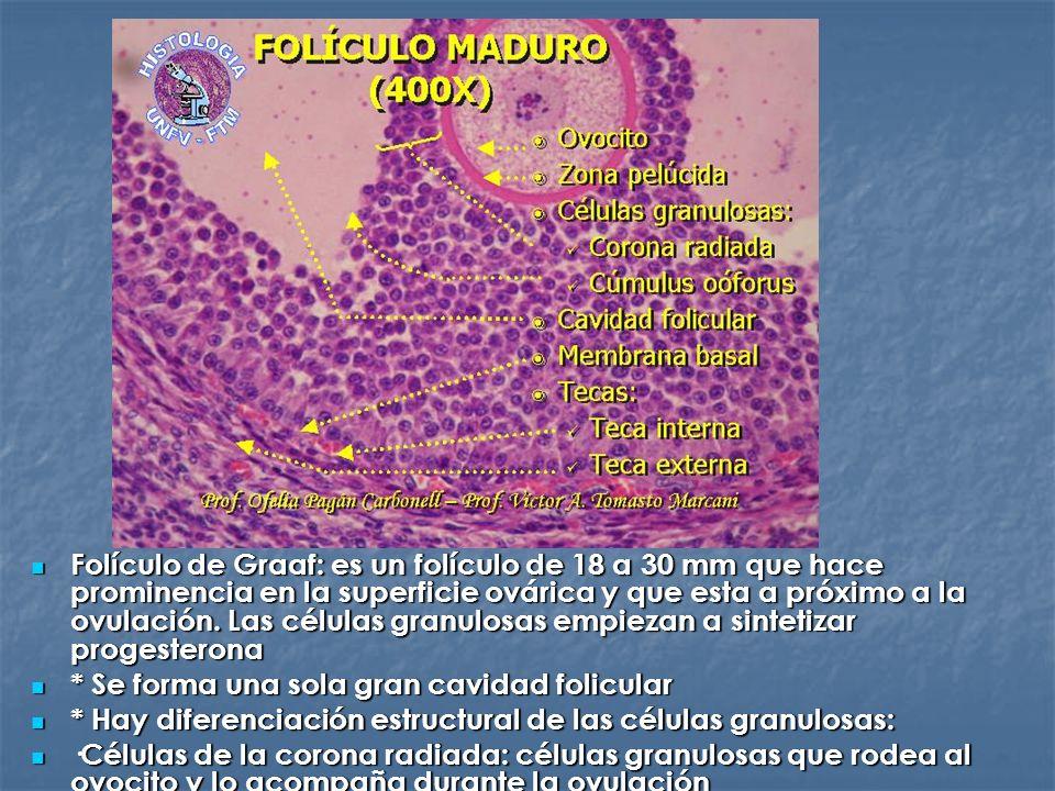 Folículo de Graaf: es un folículo de 18 a 30 mm que hace prominencia en la superficie ovárica y que esta a próximo a la ovulación. Las células granulosas empiezan a sintetizar progesterona