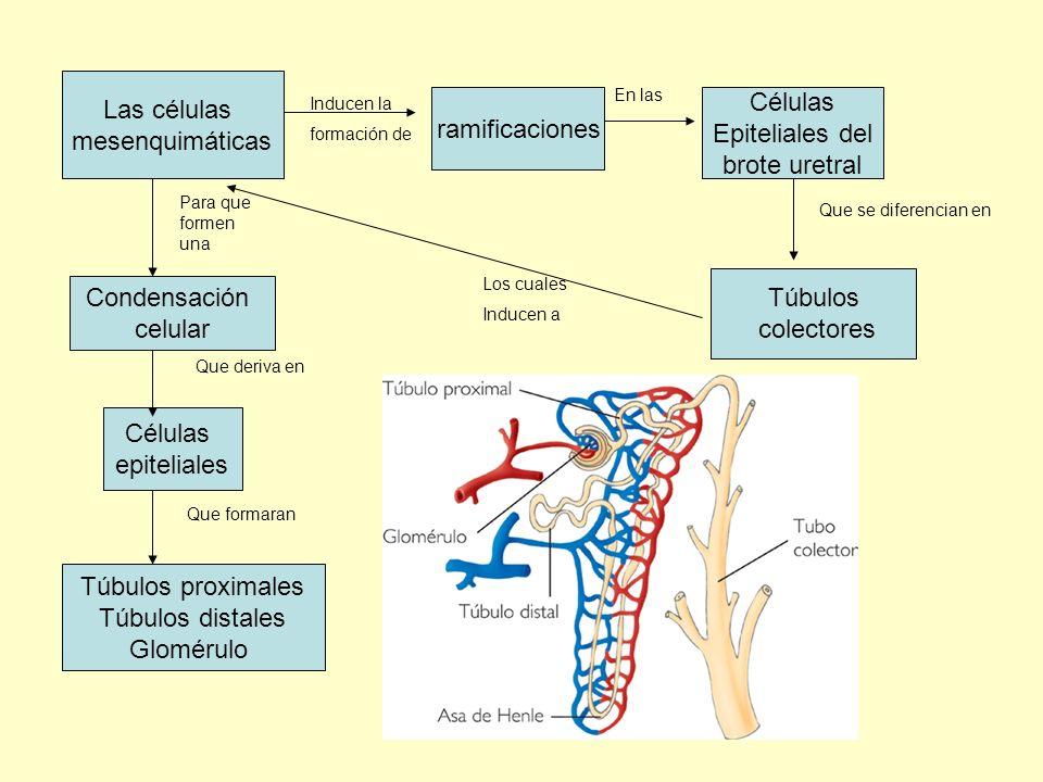 Las células Células mesenquimáticas ramificaciones Epiteliales del