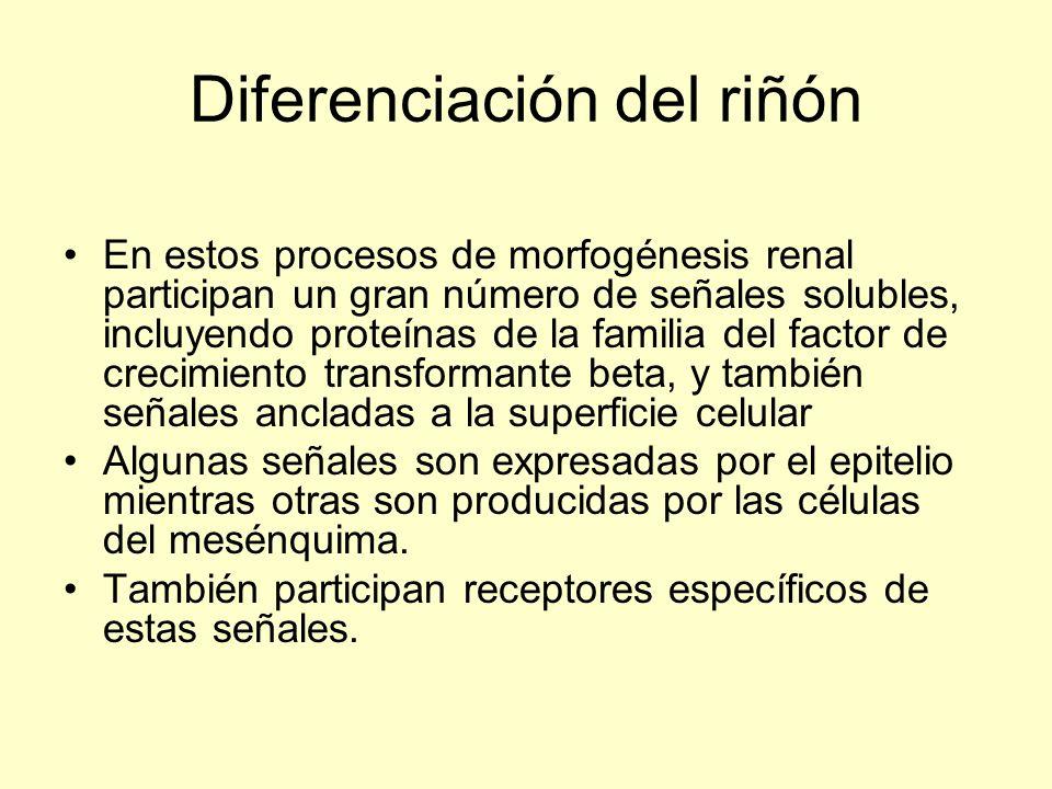 Diferenciación del riñón