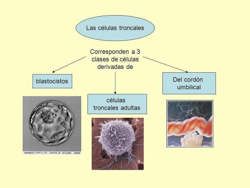 Corresponden a 3 clases de células derivadas de