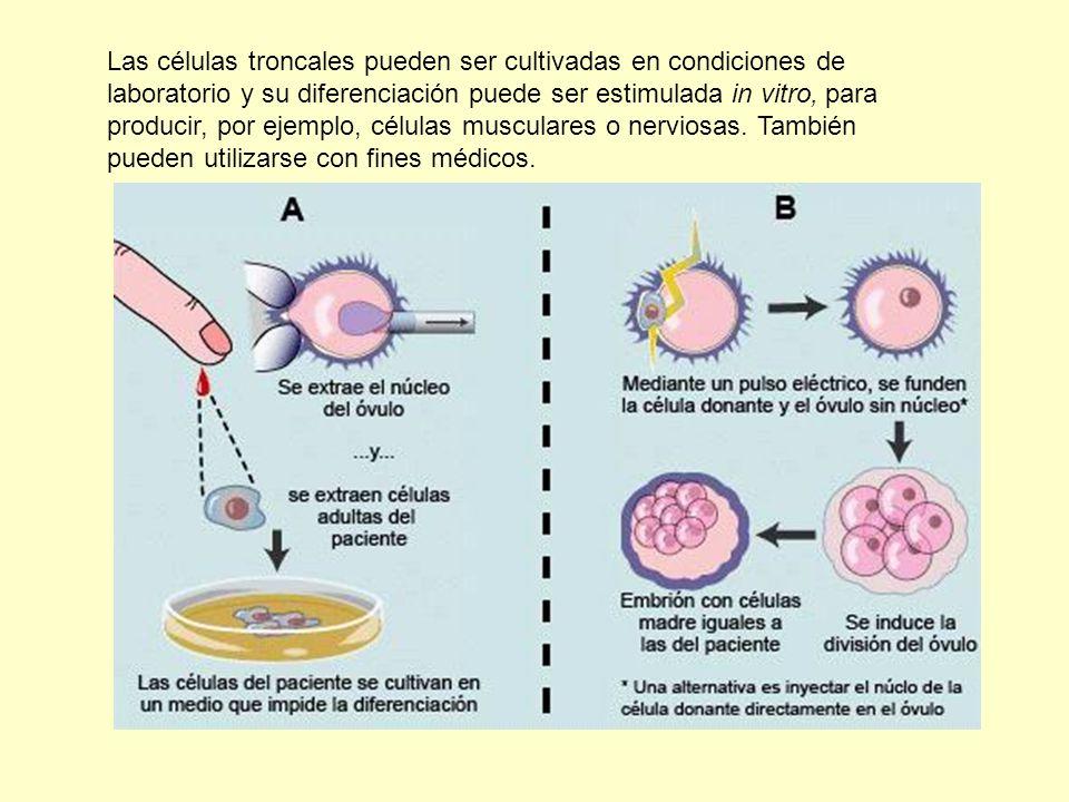 Las células troncales pueden ser cultivadas en condiciones de laboratorio y su diferenciación puede ser estimulada in vitro, para producir, por ejemplo, células musculares o nerviosas.