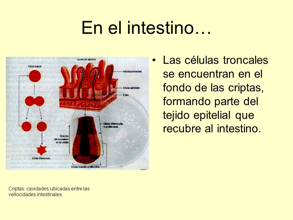En el intestino… Las células troncales se encuentran en el fondo de las criptas, formando parte del tejido epitelial que recubre al intestino.