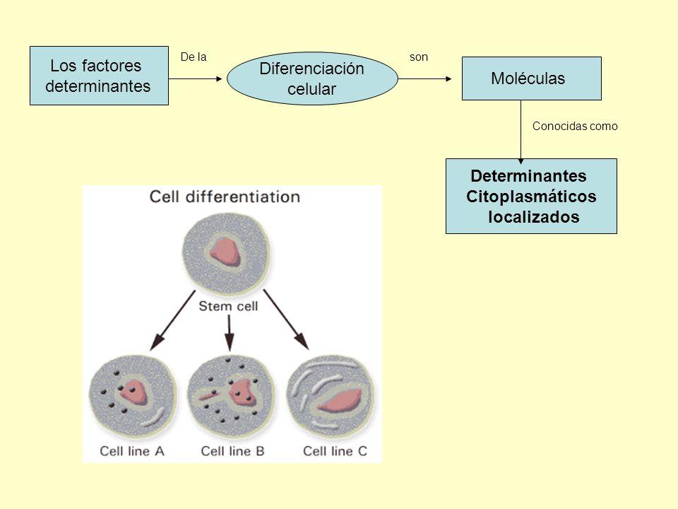 Determinantes Citoplasmáticos localizados