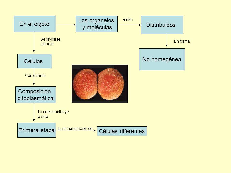 Los organelos En el cigoto Distribuidos y moléculas No homegénea