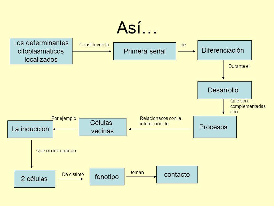 Así… Los determinantes citoplasmáticos localizados Diferenciación