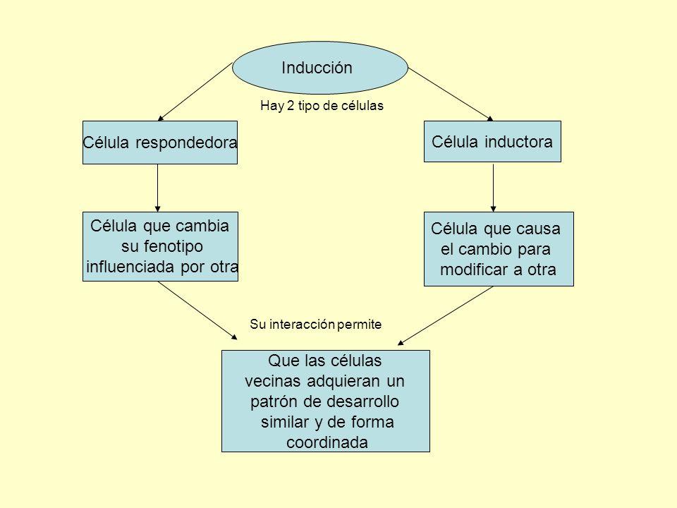 Inducción Célula respondedora Célula inductora Célula que cambia