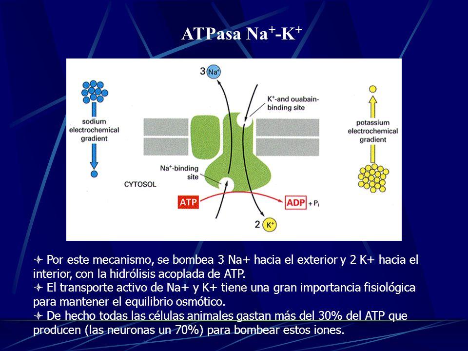 14/01/10 ATPasa Na+-K+ Por este mecanismo, se bombea 3 Na+ hacia el exterior y 2 K+ hacia el interior, con la hidrólisis acoplada de ATP.