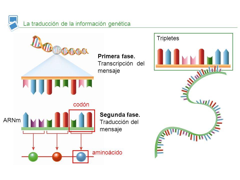 La traducción de la información genética