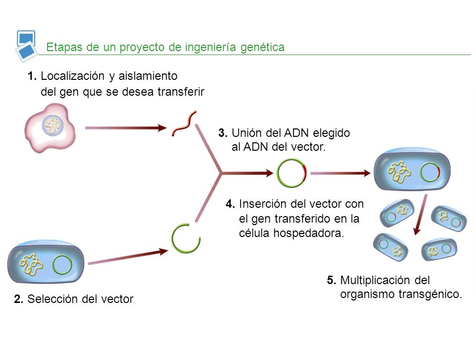 Etapas de un proyecto de ingeniería genética