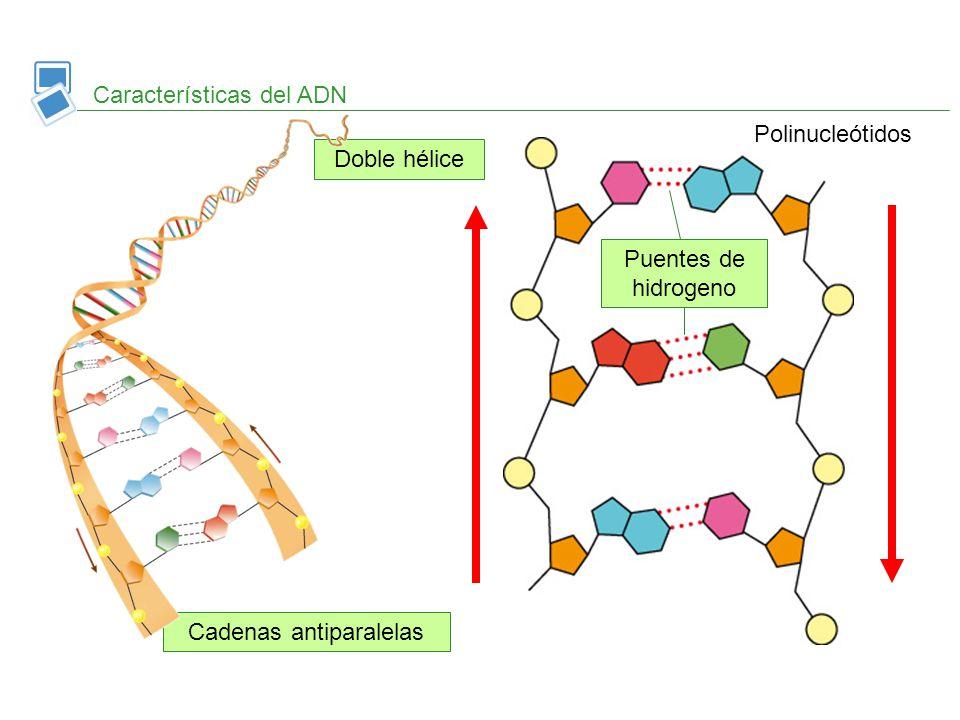Cadenas antiparalelas