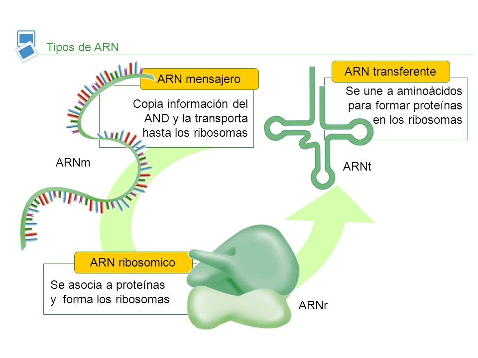 Tipos de ARN ARN transferente. ARN mensajero. Se une a aminoácidos para formar proteínas en los ribosomas.
