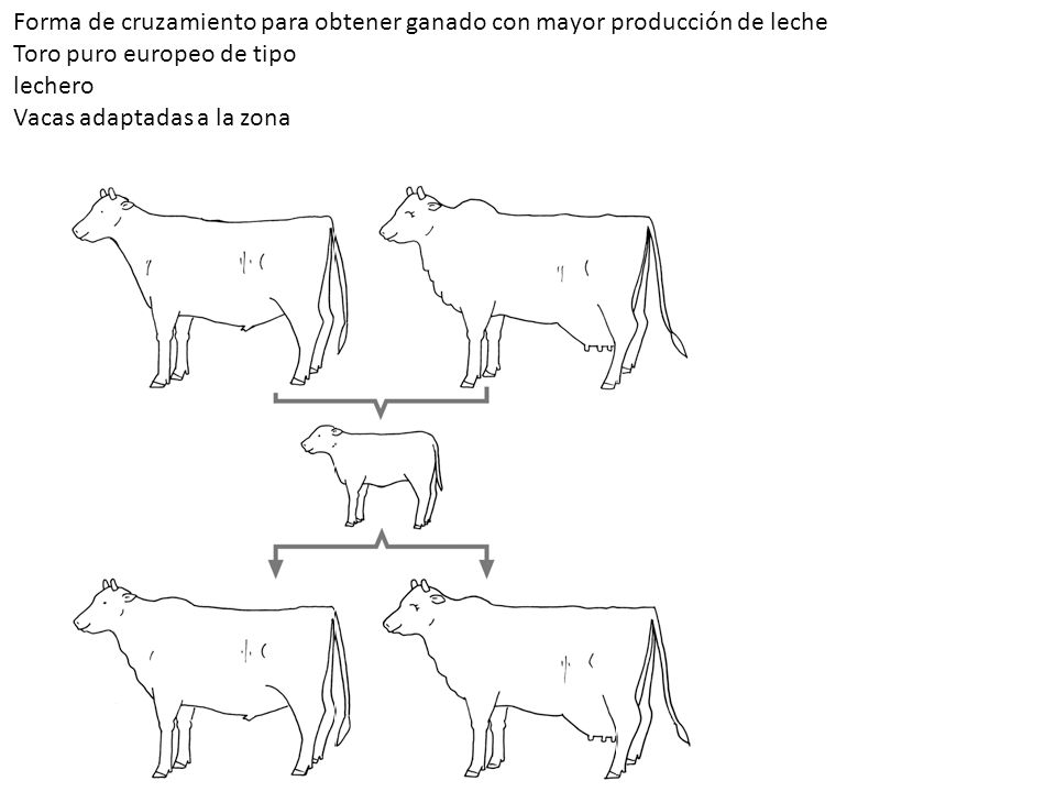 Forma de cruzamiento para obtener ganado con mayor producción de leche