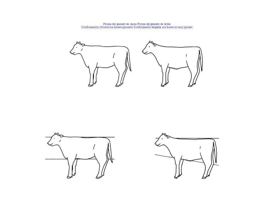 Forma del ganado de carne Forma del ganado de leche