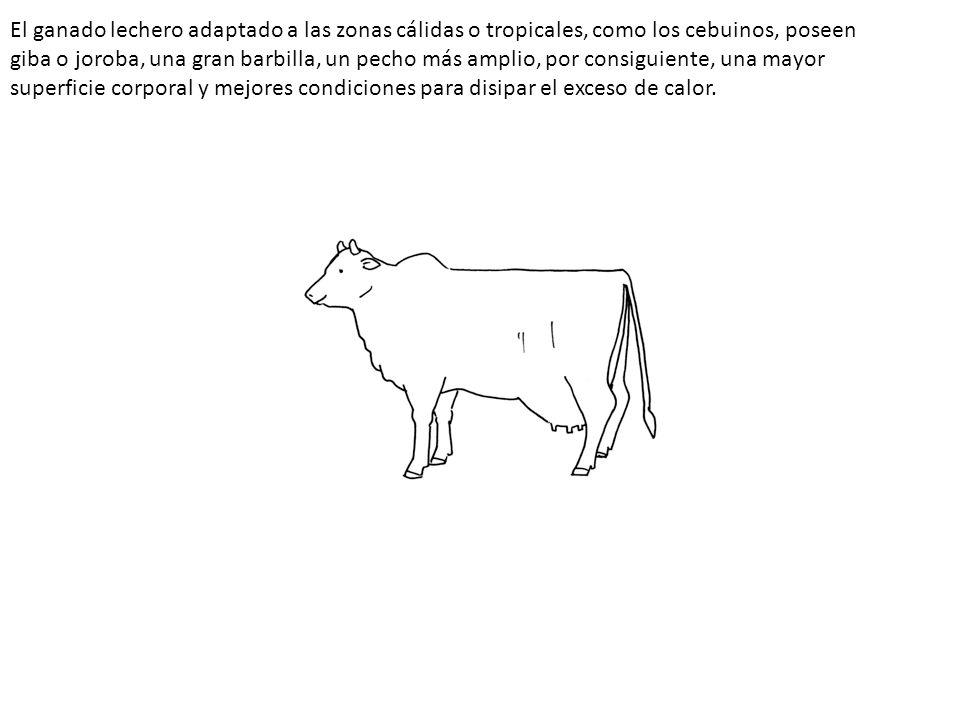 El ganado lechero adaptado a las zonas cálidas o tropicales, como los cebuinos, poseen