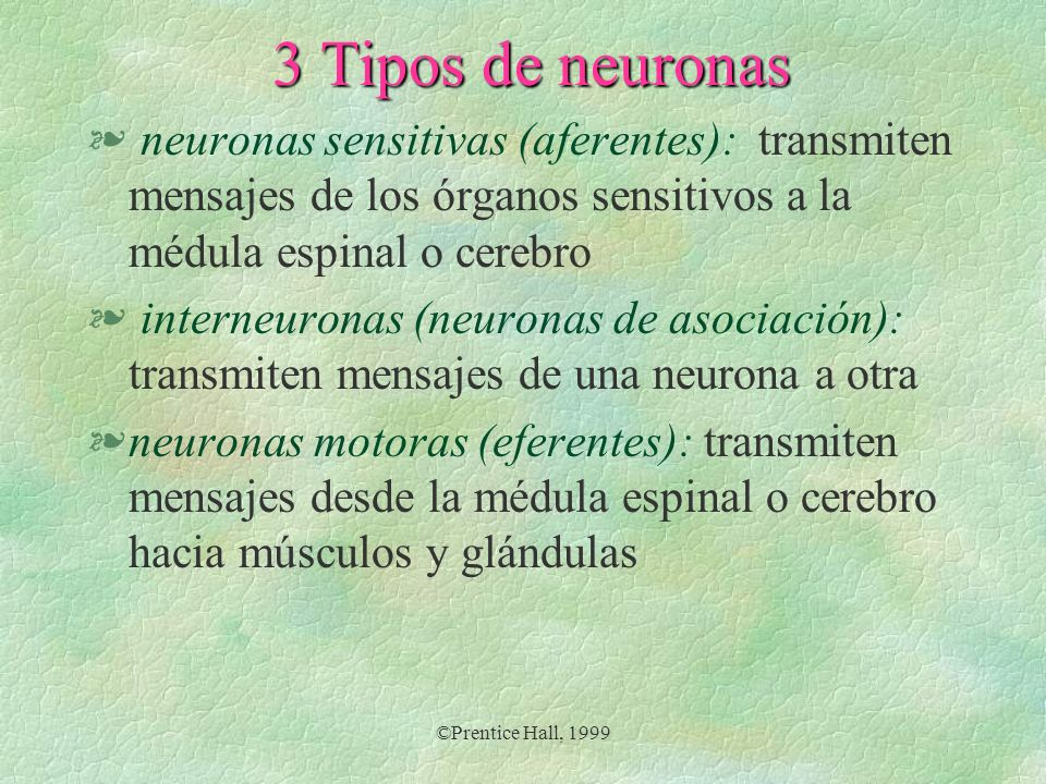 3 Tipos de neuronas neuronas sensitivas (aferentes): transmiten mensajes de los órganos sensitivos a la médula espinal o cerebro.