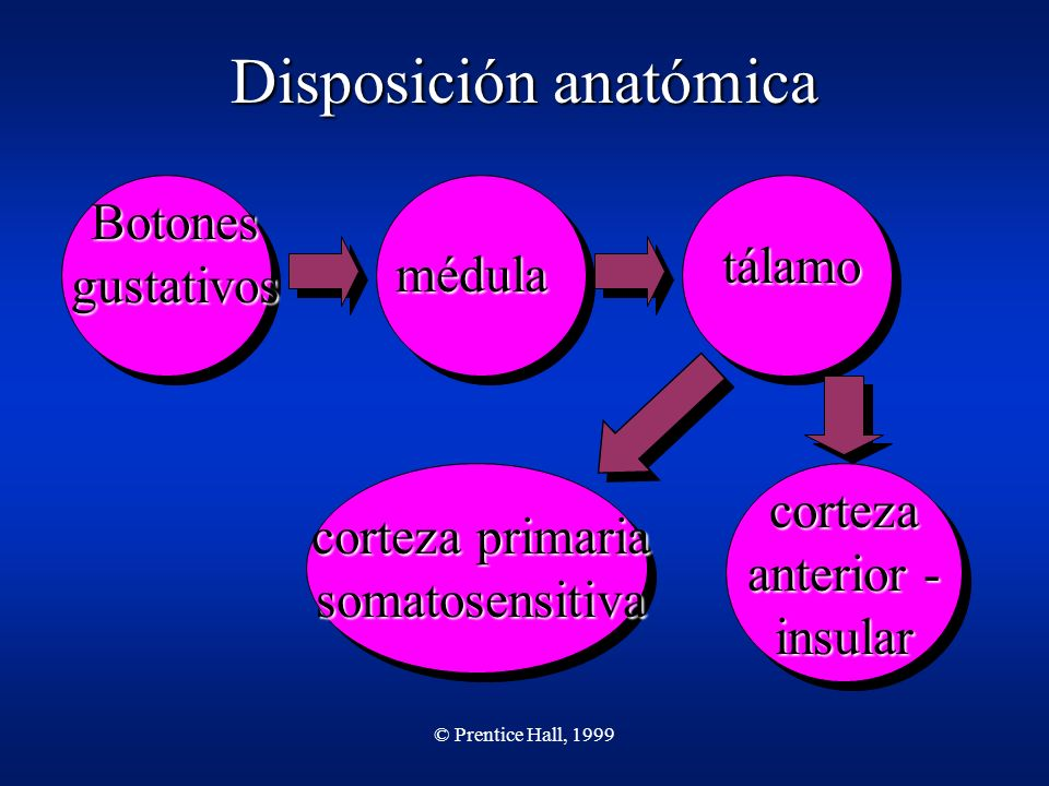 Disposición anatómica