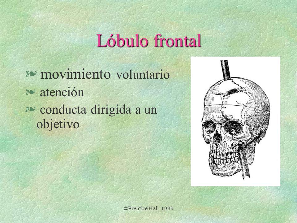 Lóbulo frontal movimiento voluntario atención