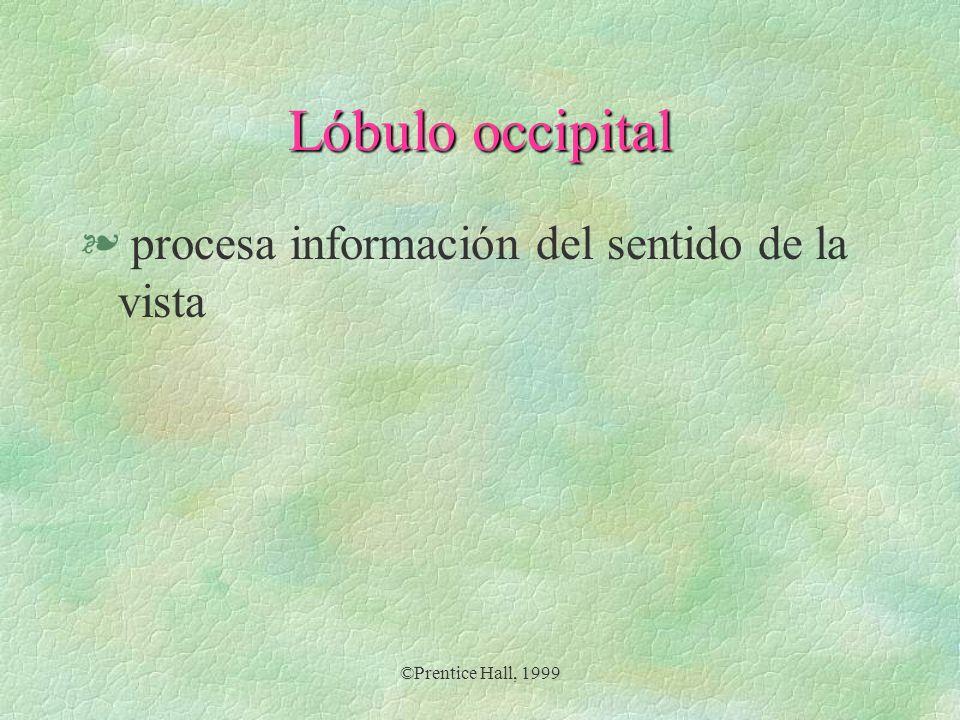 Lóbulo occipital procesa información del sentido de la vista