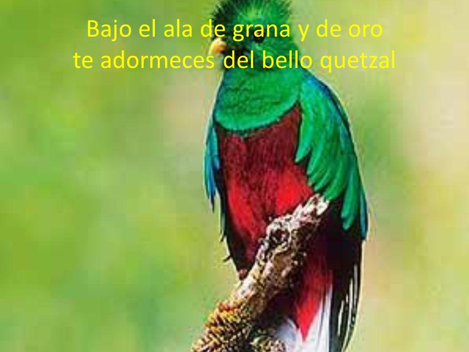 Bajo el ala de grana y de oro te adormeces del bello quetzal