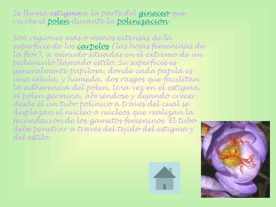 Se llama estigma a la parte del gineceo que recibe el polen durante la polinización .
