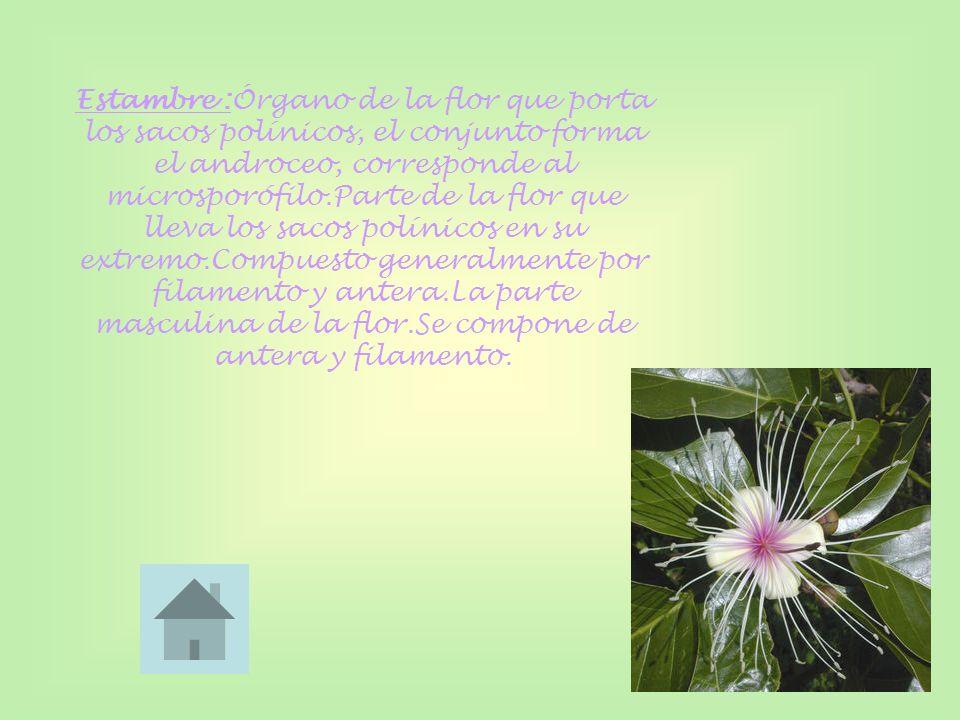 Estambre :Órgano de la flor que porta los sacos polínicos, el conjunto forma el androceo, corresponde al microsporófilo.Parte de la flor que lleva los sacos polínicos en su extremo.Compuesto generalmente por filamento y antera.La parte masculina de la flor.Se compone de antera y filamento.