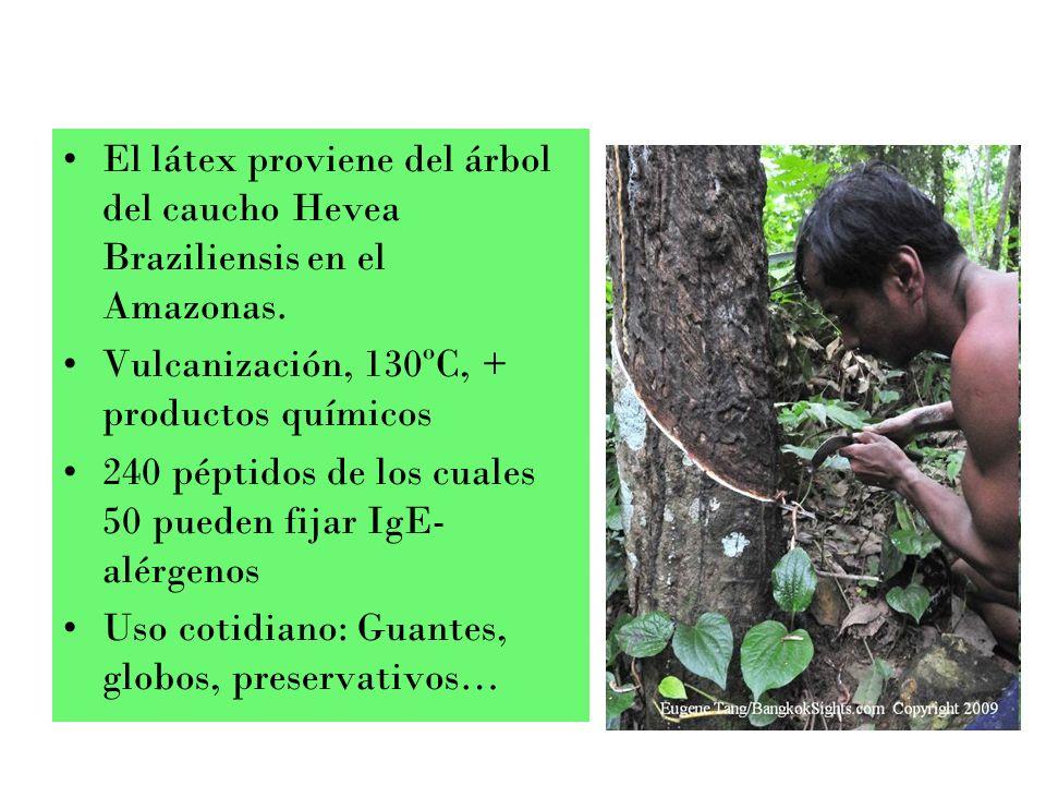 El látex proviene del árbol del caucho Hevea Braziliensis en el Amazonas.