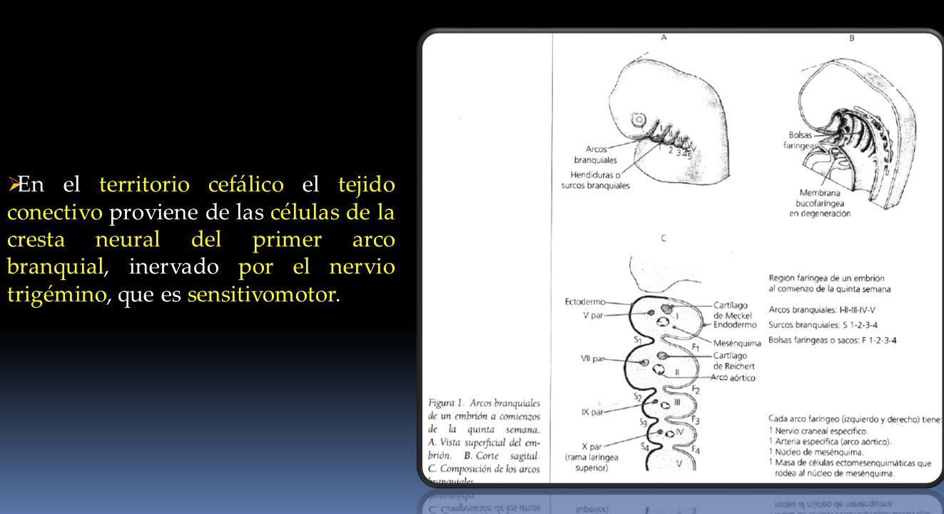 En el territorio cefálico el tejido conectivo proviene de las células de la cresta neural del primer arco branquial, inervado por el nervio trigémino, que es sensitivomotor.