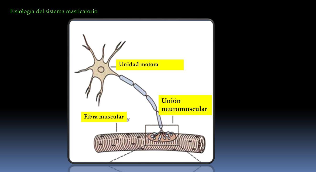 Unión neuromuscular Fisiología del sistema masticatorio Unidad motora