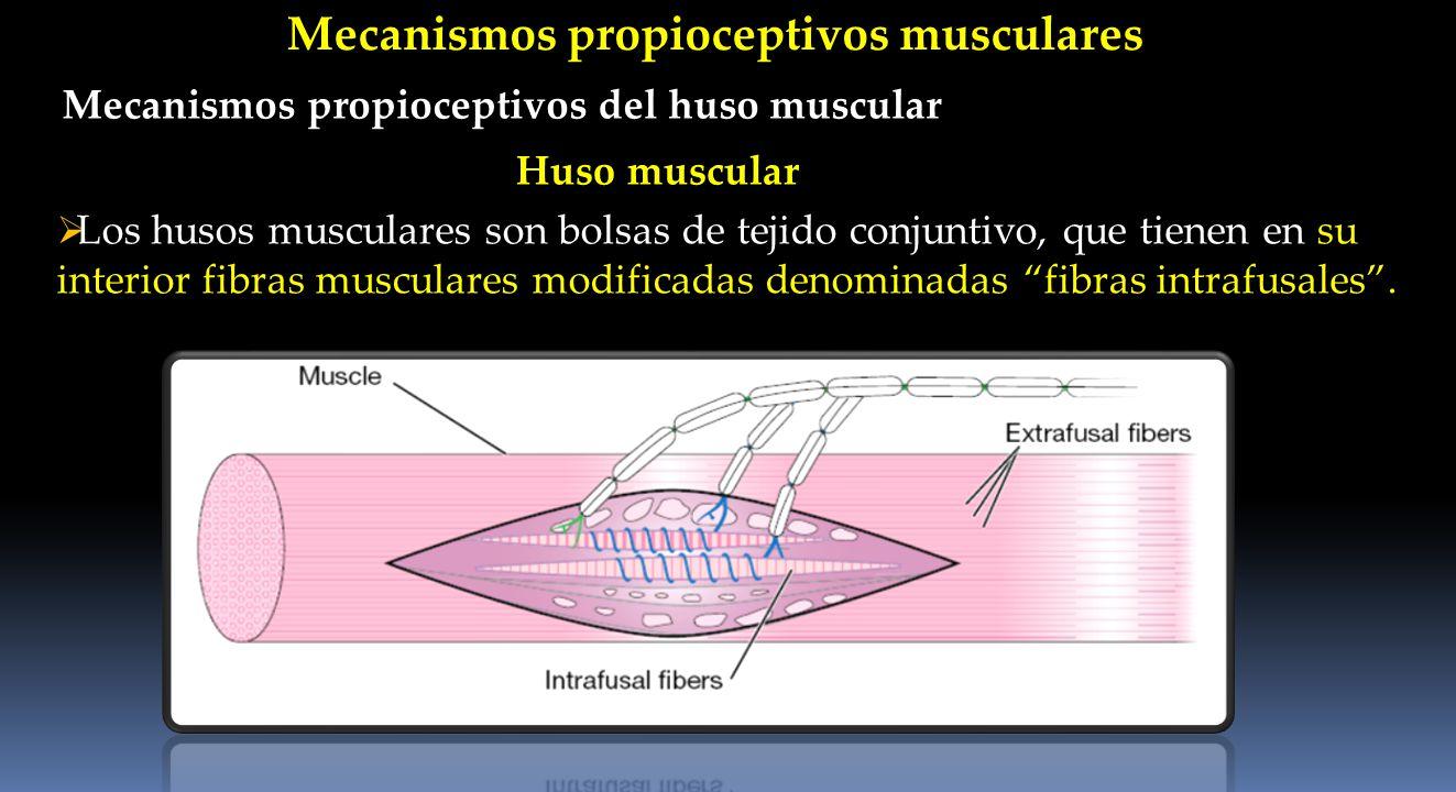 Mecanismos propioceptivos musculares