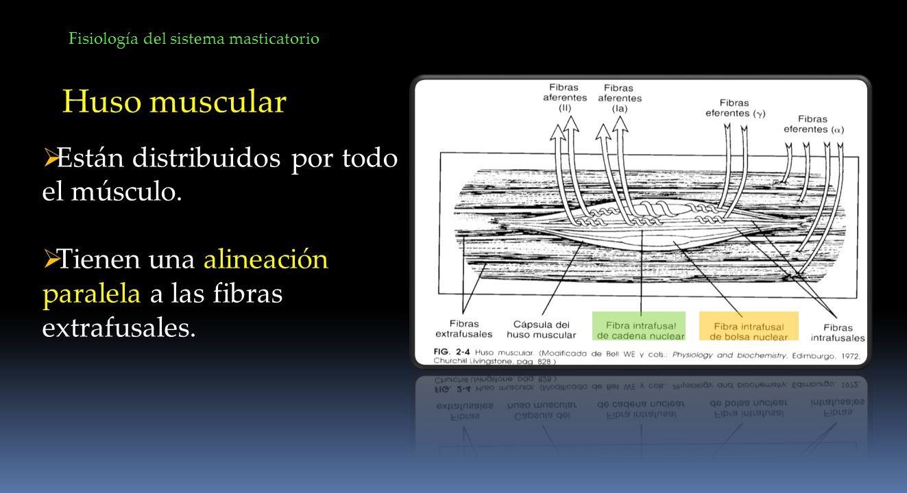 Huso muscular Están distribuidos por todo el músculo.