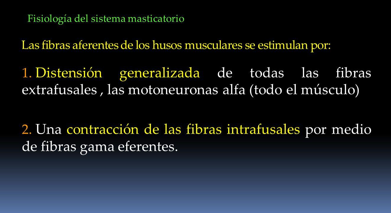 Las fibras aferentes de los husos musculares se estimulan por: