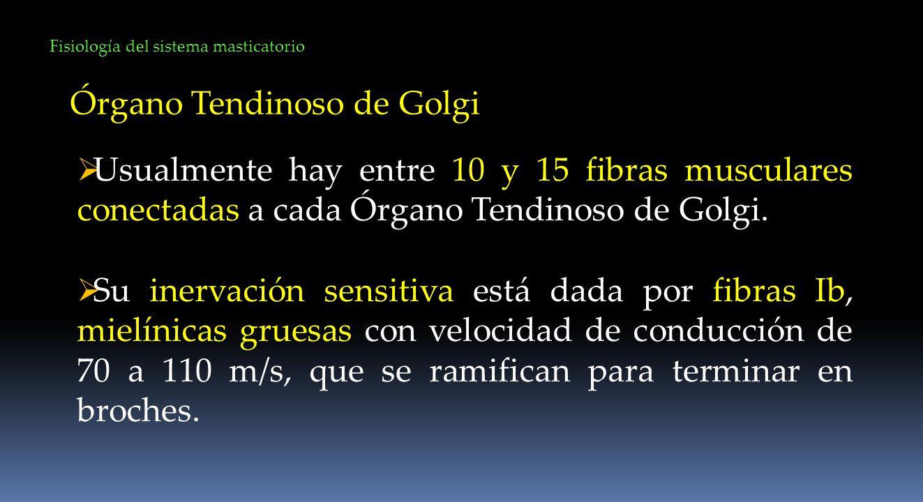 Órgano Tendinoso de Golgi