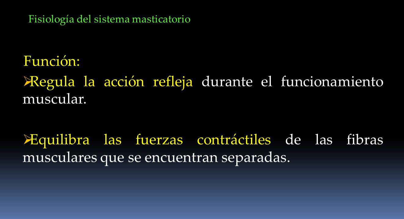 Regula la acción refleja durante el funcionamiento muscular.
