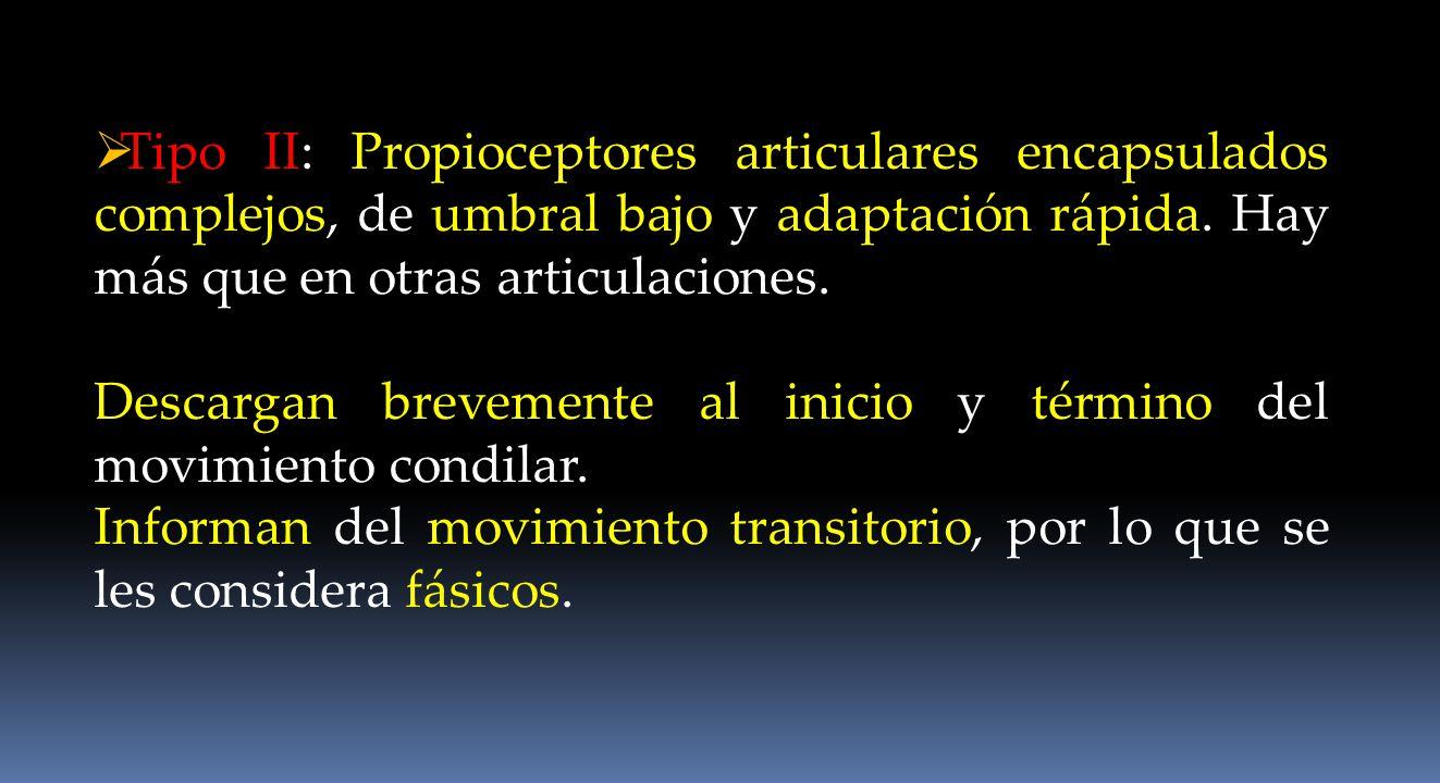 Tipo II: Propioceptores articulares encapsulados complejos, de umbral bajo y adaptación rápida. Hay más que en otras articulaciones.