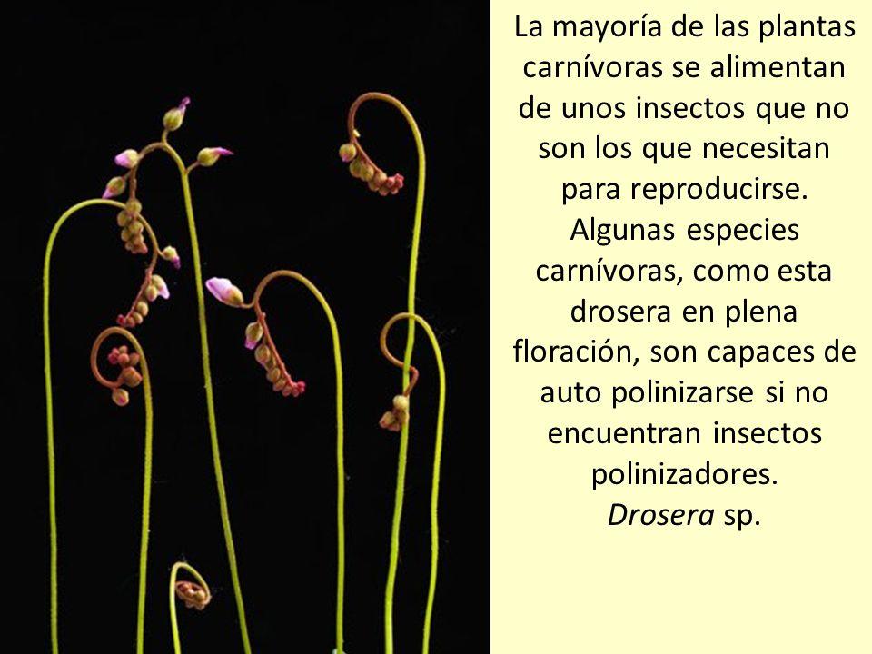 La mayoría de las plantas carnívoras se alimentan de unos insectos que no son los que necesitan para reproducirse.