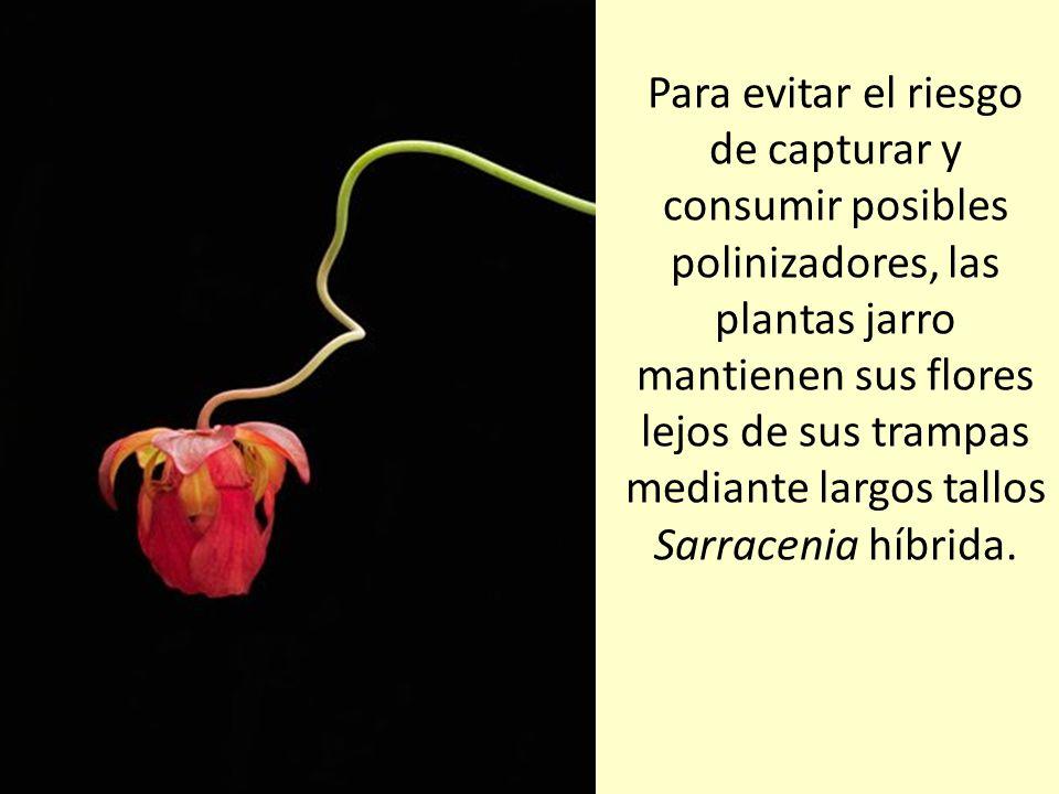 Para evitar el riesgo de capturar y consumir posibles polinizadores, las plantas jarro mantienen sus flores lejos de sus trampas mediante largos tallos Sarracenia híbrida.