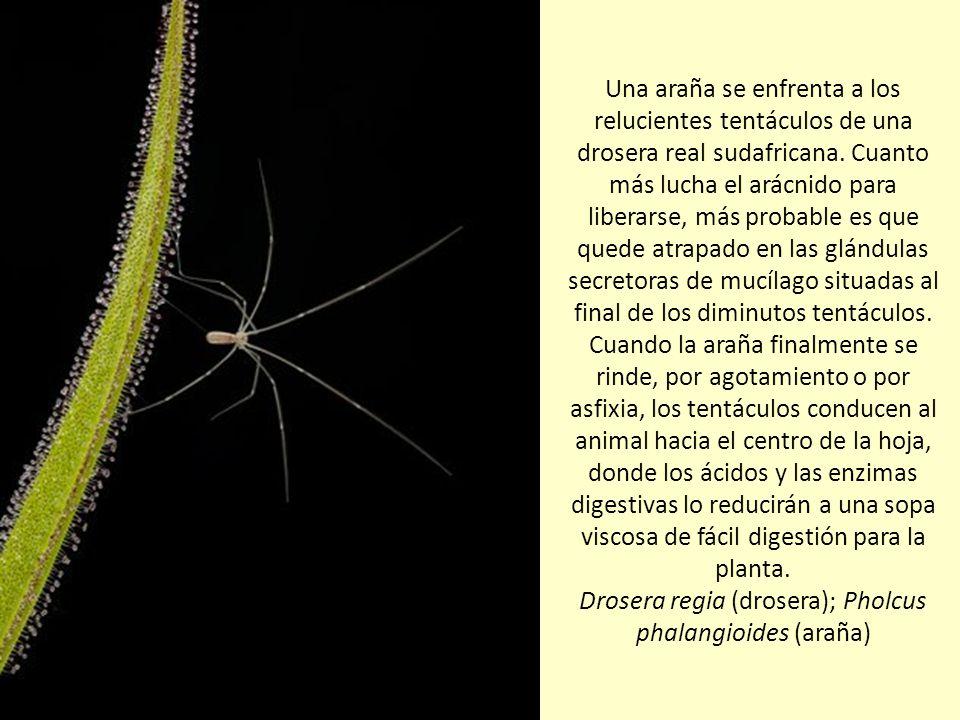 Una araña se enfrenta a los relucientes tentáculos de una drosera real sudafricana.