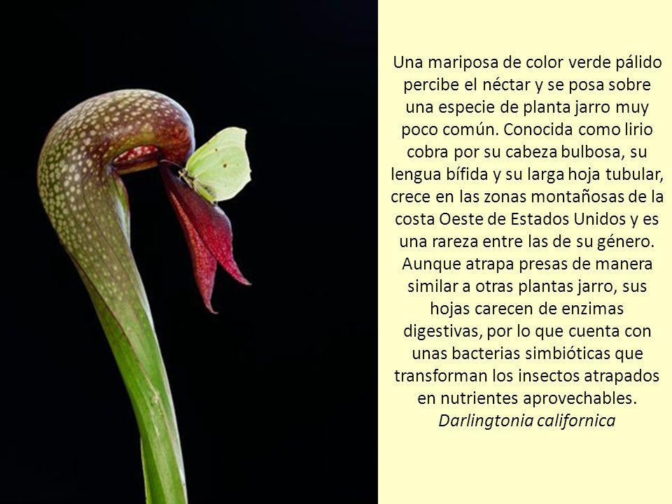 Una mariposa de color verde pálido percibe el néctar y se posa sobre una especie de planta jarro muy poco común.