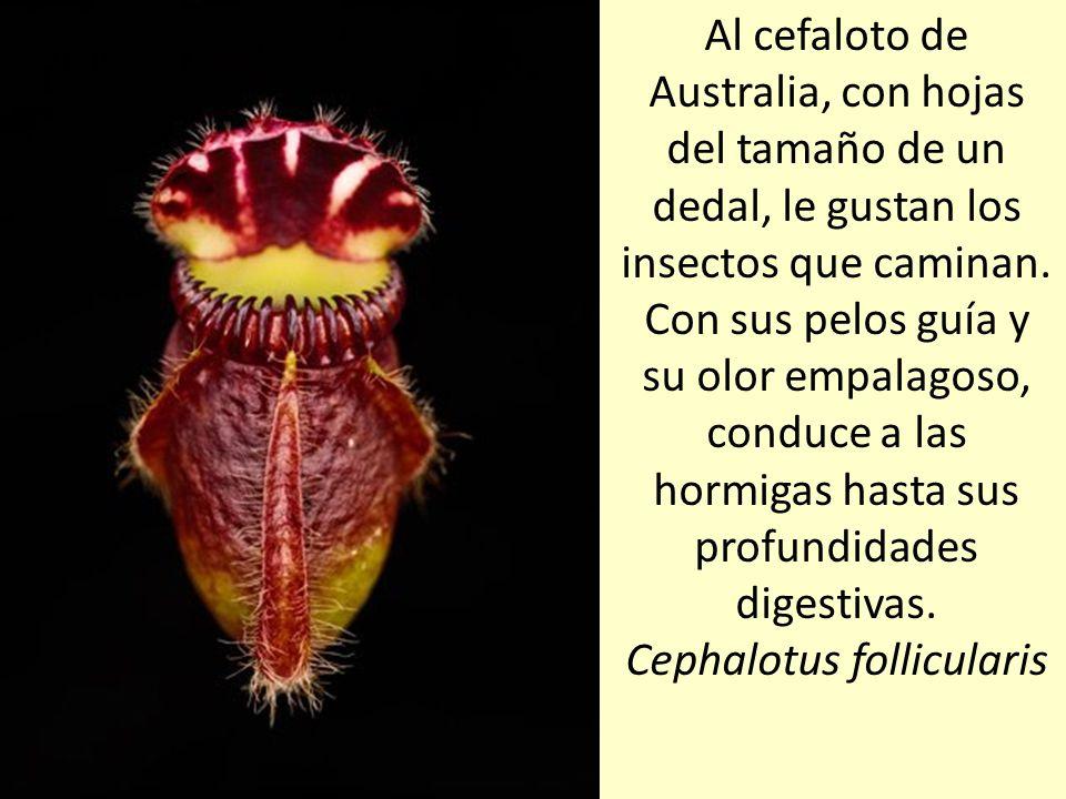 Al cefaloto de Australia, con hojas del tamaño de un dedal, le gustan los insectos que caminan.