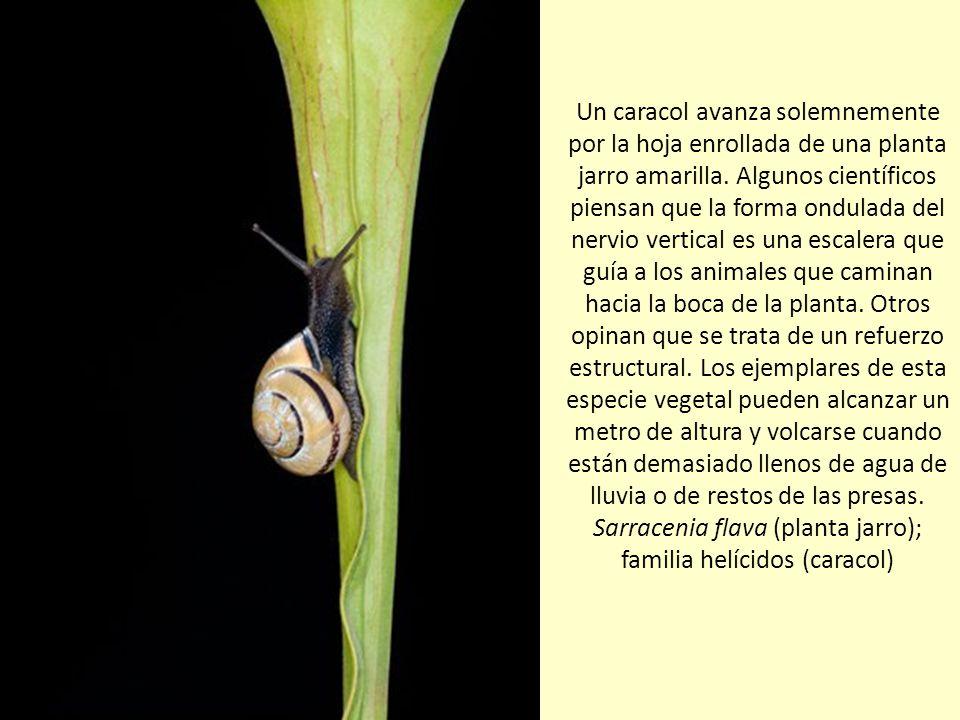 Un caracol avanza solemnemente por la hoja enrollada de una planta jarro amarilla.