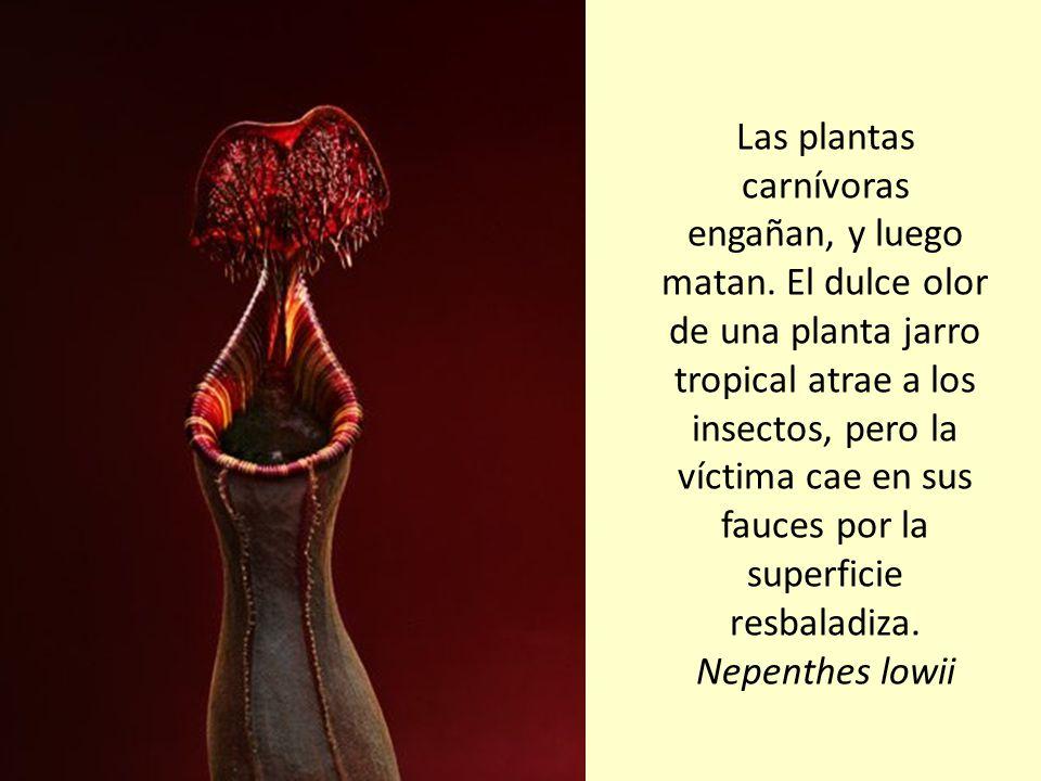 Las plantas carnívoras engañan, y luego matan
