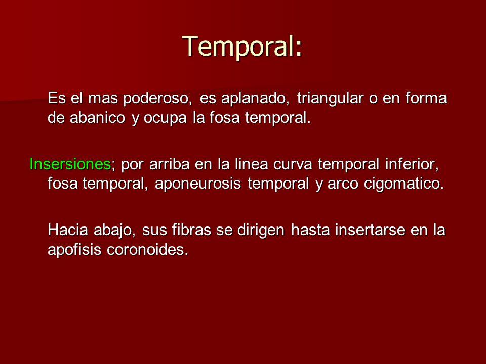 Temporal:Es el mas poderoso, es aplanado, triangular o en forma de abanico y ocupa la fosa temporal.